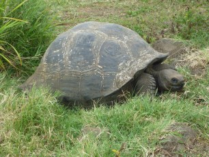 Gigantic_Turtle_on_the_Island_of_Santa_Cruz_in_the_Galapagos